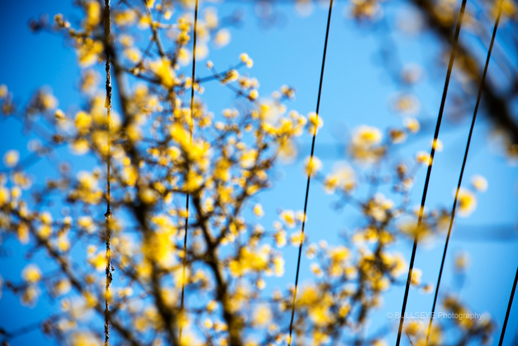 YELLOW BUDS & WIRES